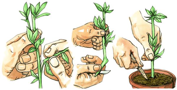 reproducción asexual de plantas de interior