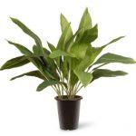 la aspidistra es una de las 10 Plantas de interiores que resisten absolutamente todo