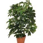 la cheflera es una de las 10 Plantas de interiores que resisten absolutamente todo