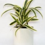 La cinta es una de las 10 Plantas de interiores que resisten absolutamente todo