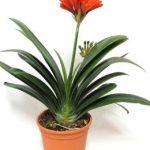 la clivia es una de las 10 Plantas de interiores que resisten absolutamente todo