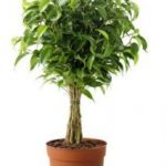 el ficus es una de las 10 Plantas de interiores que resisten absolutamente todo