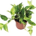 el potus es una de las 10 Plantas de interiores que resisten absolutamente todo