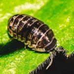 las cochinillas causan enfermedades de las plantas de interior