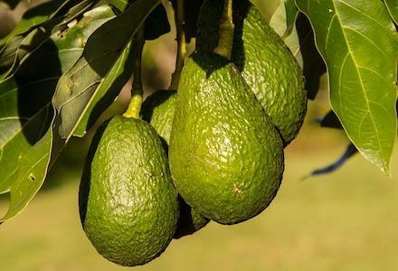 aguacate árbol frutal de interior