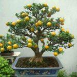 Árboles frutales de interior