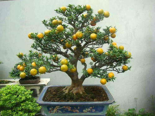 arboles frutales de interior
