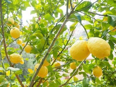 limonero árbol frutal de interior