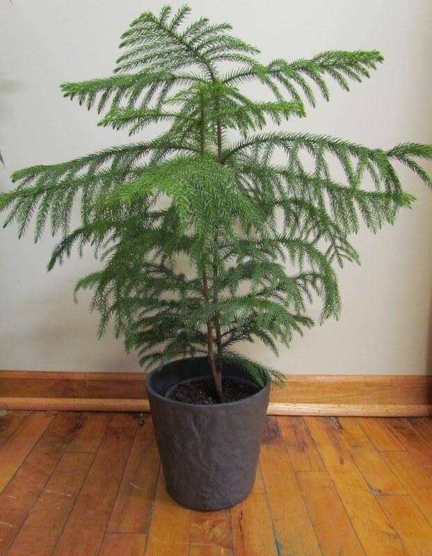 El pino Norfolk