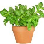 Es unade lasplantas aromáticas con hoja perenne