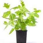 La menta es una de las plantas aromáticas que abarca diferentes especies