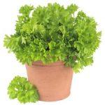 Son plantas aromáticasque se cultivan por gran parte del mundo