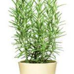 Es un arbusto leñoso de hoja perenne y pertenece a las planta aromáticas