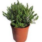 Estas plantas aromáticas son originarias de las zonas templadas de Europa