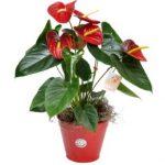 anturios son plantas con flores rojas