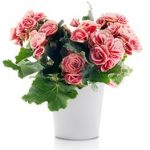 las begonias son plantas con flores que destacan