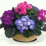 las violetas africanas son plantas con flores hermosas