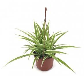 La cinta es una de las plantas de interior colgantes