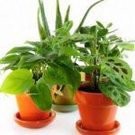 ¿Cuáles son las plantas de interior que dan suerte?