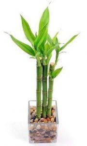 el bambú es una de las plantas de interior que dan suerte