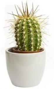 el cactus es una de las plantas de interior que dan suerte