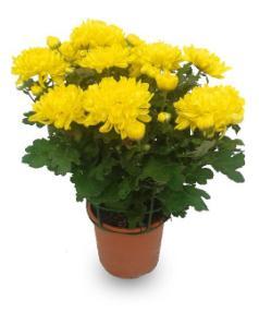 el crisantemo es una de las plantas de interior que dan suerte
