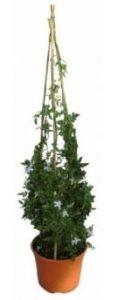 el jazmin es una de las plantas de interior que dan suerte