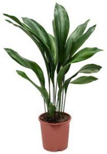 la aspidistra es una de las 8 Plantas ideales para mantener en espacios con poca luz
