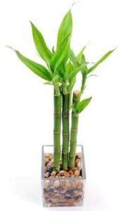 el bambu de la suerte es una de las 8 Plantas ideales para mantener en espacios con poca luz