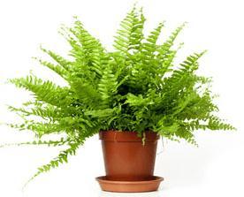 el helecho de interior es una de las 8 Plantas ideales para mantener en espacios con poca luz