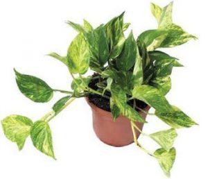 el potus es una de las 8 Plantas ideales para mantener en espacios con poca luz