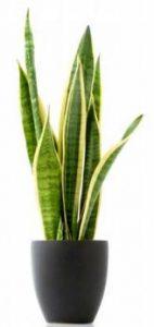 el sansevieria es una de las 8 Plantas ideales para mantener en espacios con poca luz